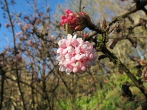 janflowers_viburnum