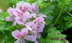 scent_geranium