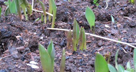 ..and the bulbs are poking through the ground everywhere: a new one appears every day. These are the early tulips, only a couple of months away now.