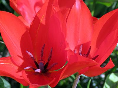 tulipa_sprengeri