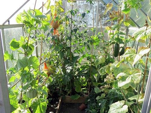 octgarden_greenhousecukes