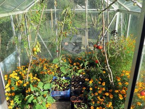 octgarden_greenhousetoms