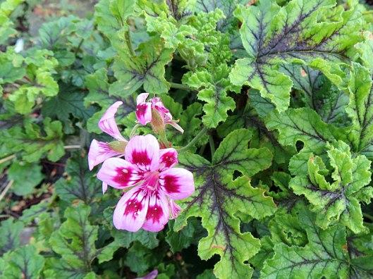 herbgarden_geranium