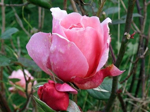 herbgarden_rose