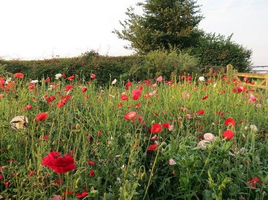 meadow_2013b