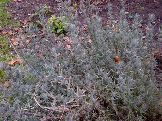lavender_alive