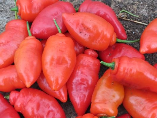 chillies2