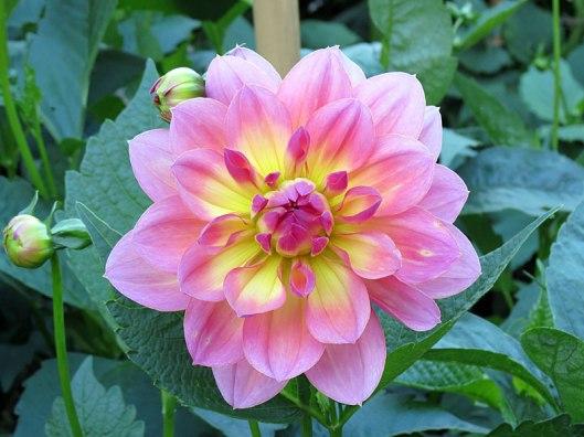 Dahlia 'Sandia Rose'