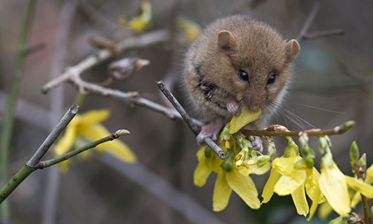 OVER-18s-GENERAL-WILDLIFE_Paul-Steven_dormouse-on-forsythia-taken-in-St-Ives-Cornwall