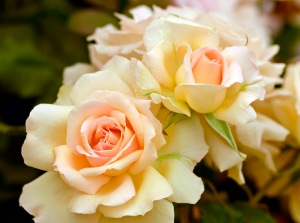 photography_roses