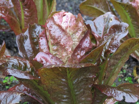 potm_intred_lettuce