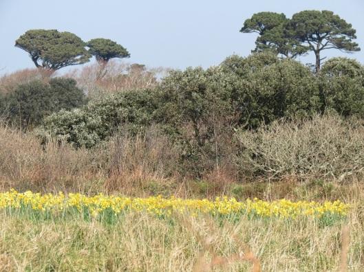 guernsey_daffodils